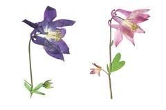 Πιεσμένο και ξηρό aquilegia λουλουδιών vulgaris Στοκ Εικόνες