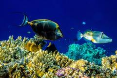 Πικάσο Triggerfish Στοκ εικόνες με δικαίωμα ελεύθερης χρήσης