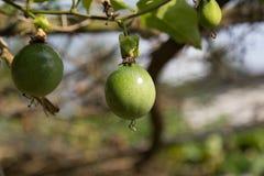 πικρή κολοκύθα μωρών jackfruit ακανθωτή Στοκ Εικόνες