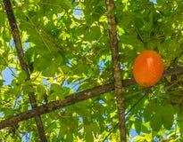 πικρή κολοκύθα μωρών jackfruit ακανθωτή Στοκ εικόνες με δικαίωμα ελεύθερης χρήσης