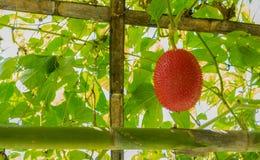 πικρή κολοκύθα μωρών jackfruit ακανθωτή Στοκ Φωτογραφίες