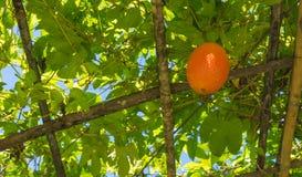 πικρή κολοκύθα μωρών jackfruit ακανθωτή Στοκ φωτογραφία με δικαίωμα ελεύθερης χρήσης