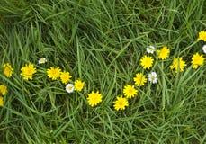 πικραλίδα αλυσίδων όμορφ&e Στοκ φωτογραφία με δικαίωμα ελεύθερης χρήσης
