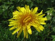 πικραλίδα κίτρινη Στοκ Φωτογραφίες
