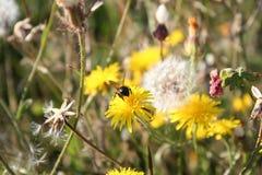 Πικραλίδα και λίγη μέλισσα Στοκ φωτογραφίες με δικαίωμα ελεύθερης χρήσης