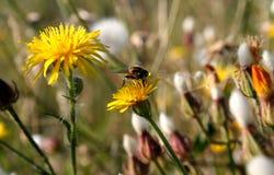 Πικραλίδα και λίγη μέλισσα Στοκ Φωτογραφία
