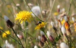 Πικραλίδα και λίγη μέλισσα Στοκ Εικόνα