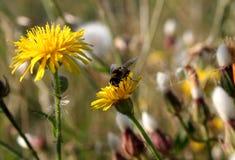 Πικραλίδα και λίγη μέλισσα Στοκ Φωτογραφίες