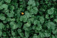 Πικραλίδα μεταξύ των πράσινων εγκαταστάσεων στη φύση Η έννοια είναι μια Η ιδέα είναι ακριβώς εσύ Θερινό λιβάδι, πράσινες εγκαταστ Στοκ Φωτογραφία