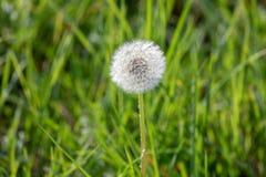 Πικραλίδα με τους πετώντας σπόρους, φυσικό υπόβαθρο στοκ εικόνα