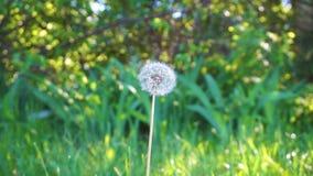 Πικραλίδα Ο αέρας φυσά μακριά τους σπόρους πικραλίδων φιλμ μικρού μήκους
