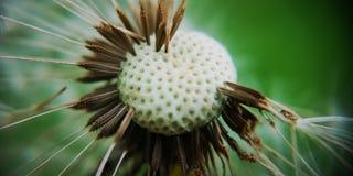 Πικραλίδα σε πράσινο στοκ εικόνα
