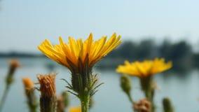 Πικραλίδα στη μακρο φωτογραφία - ηλιόλουστη θερινή ημέρα Στοκ Εικόνα