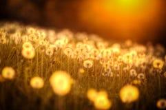 Πικραλίδες ηλιοβασιλέματος Στοκ φωτογραφίες με δικαίωμα ελεύθερης χρήσης