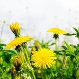 πικραλίδες κίτρινες Στοκ Φωτογραφίες