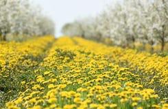 Πικραλίδες λουλουδιών, υπόβαθρο, οπωρώνας κερασιών την άνοιξη, Στοκ Εικόνες