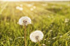 Πικραλίδες στον ήλιο Στοκ Εικόνες