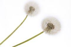 πικραλίδες Στοκ φωτογραφία με δικαίωμα ελεύθερης χρήσης