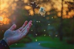 Πικραλίδα εκμετάλλευσης χεριών στοκ εικόνα