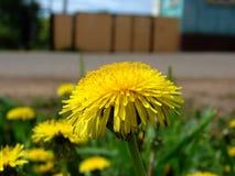 Πικραλίδα - κίτρινα όμορφα λουλούδια άνοιξη Στοκ Εικόνες