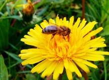 Πικραλίδα και λίγη μέλισσα Στοκ φωτογραφία με δικαίωμα ελεύθερης χρήσης