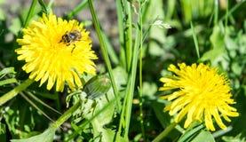 Πικραλίδα και μέλισσα στο υπόβαθρο χλόης Στοκ φωτογραφία με δικαίωμα ελεύθερης χρήσης