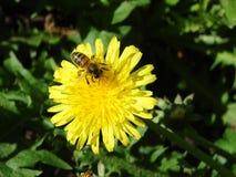 Πικραλίδα και μέλισσα Στοκ φωτογραφίες με δικαίωμα ελεύθερης χρήσης