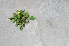 Πικραλίδα και sorrel όλοι σε ένα Στοκ εικόνες με δικαίωμα ελεύθερης χρήσης