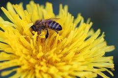 Πικραλίδα & μέλισσα στοκ φωτογραφίες με δικαίωμα ελεύθερης χρήσης