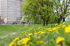 Πικραλίδα μεταξύ των λουλουδιών Στοκ Εικόνες