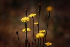 Πικραλίδα μεταξύ των λουλουδιών Στοκ Φωτογραφίες