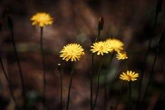 Πικραλίδα μεταξύ των λουλουδιών στοκ φωτογραφία