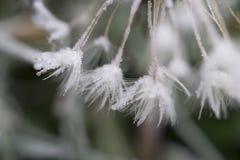Πικραλίδα με τον παγετό στοκ φωτογραφίες με δικαίωμα ελεύθερης χρήσης