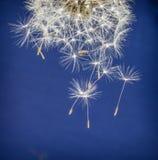 Πικραλίδα με τους μειωμένους σπόρους του Στοκ Εικόνες