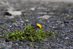 Πικραλίδα με το κίτρινο λουλούδι, ζιζάνιο καλλιτεχνών επιβίωσης σε ένα αμμοχάλικο ρ Στοκ Φωτογραφίες