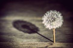 Πικραλίδα που πετά μια σκιά στοκ φωτογραφία
