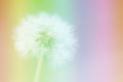 Πικραλίδα στην αφηρημένη ζωηρόχρωμη θαμπάδα Στοκ εικόνα με δικαίωμα ελεύθερης χρήσης