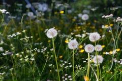 Πικραλίδα στην Ελβετία Στοκ εικόνες με δικαίωμα ελεύθερης χρήσης