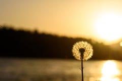 Πικραλίδα στο ηλιοβασίλεμα Στοκ Εικόνα