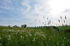 Πικραλίδα στο πράσινο λιβάδι Στοκ Εικόνες
