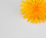 Πικραλίδα Στοκ εικόνα με δικαίωμα ελεύθερης χρήσης