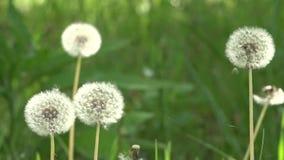 Πικραλίδες γύρω Άσπρα, λεπτά, εύθραυστα λουλούδια απόθεμα βίντεο