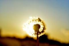 Πικραλίδες και ηλιοβασίλεμα Στοκ φωτογραφία με δικαίωμα ελεύθερης χρήσης