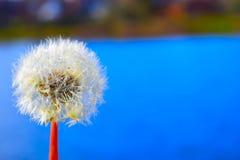 Πικραλίδες στην άνοιξη Στοκ εικόνες με δικαίωμα ελεύθερης χρήσης