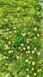 πικραλίδες Στοκ φωτογραφίες με δικαίωμα ελεύθερης χρήσης