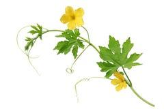 πικρό πεπόνι λουλουδιών Στοκ εικόνες με δικαίωμα ελεύθερης χρήσης