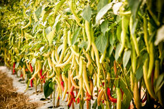 πιπέρια κήπων Στοκ Εικόνα