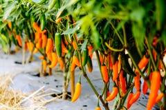 Πιπέρια στον κήπο Στοκ Φωτογραφίες