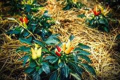 Πιπέρια στον κήπο Στοκ Εικόνα