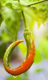 Πιπέρια τσίλι, καυτό τσίλι, Χιλή Στοκ Εικόνα